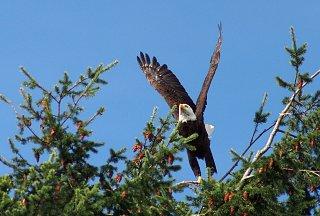 eagle again - 1.jpg