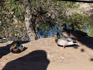 Click image for larger version  Name:Ducks_5.jpg Views:15 Size:224.9 KB ID:10692