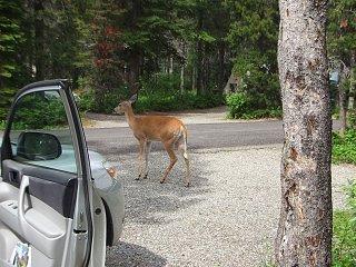Click image for larger version  Name:Glacier-deer3.jpg Views:6 Size:349.1 KB ID:130716