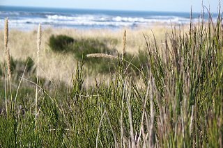Click image for larger version  Name:beach_grass.jpg Views:58 Size:98.5 KB ID:16486