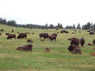 Custer_Bison_Herd.jpg