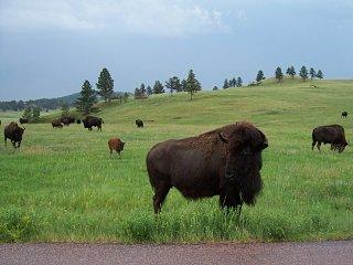 Custer_Bison.jpg