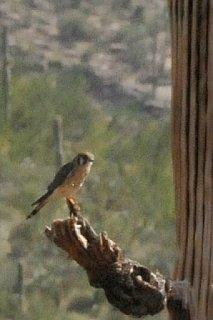 Saguaro_National_Park_American_Kestrel.jpg
