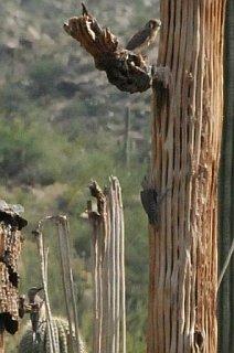 Saguaro_National_Park_American_Kestrel_b.jpg