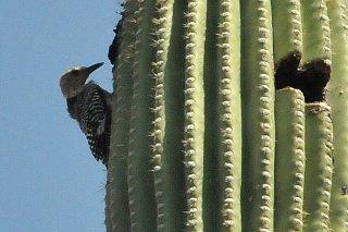 Saguaro_National_Park_Gila_Woodpecker.jpg