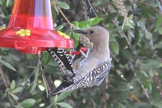 Gila_Woodpecker_female_5_14_08_drinking_from_feeder.jpg
