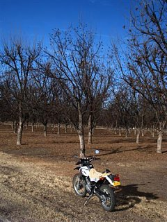 Un_Harvested_Pecans___Snow_Road_Orchard.JPG