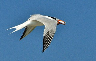 Click image for larger version  Name:Tern3.jpg Views:31 Size:379.9 KB ID:29370