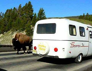 Yellowstonebison.jpg