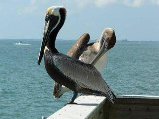 Mr.& Mrs. Pelican.jpg