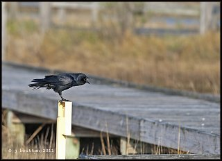 talkative crow, life of the marsh trail small.jpg