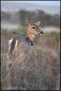whitetailed fawn with radio collar small.jpg