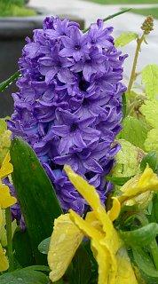 HollandPark hyacinthscrop.jpg
