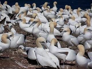 Gannets on Bonaventure.jpg