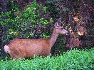 Click image for larger version  Name:Ouray deer.jpg Views:29 Size:426.0 KB ID:38674