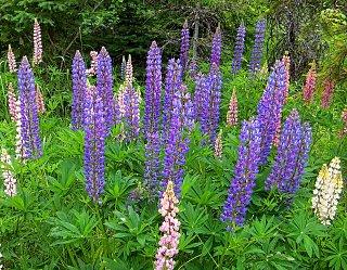 Click image for larger version  Name:Glacier flowers1.jpg Views:13 Size:453.0 KB ID:38716