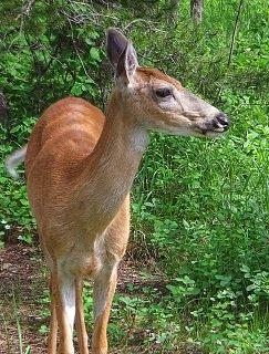 Click image for larger version  Name:Glacier Deer 2 sm.jpg Views:6 Size:450.1 KB ID:38737