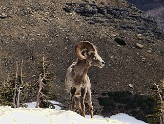 Click image for larger version  Name:GlacierBighorn.jpg Views:10 Size:344.7 KB ID:38741