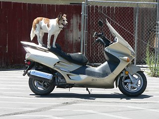 Dog on bike at Safeway at Lovelock, Nevada on 2011 road trip.jpg