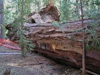 sequoia 004 (800x599).jpg