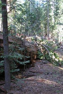 sequoia 005 (543x800).jpg