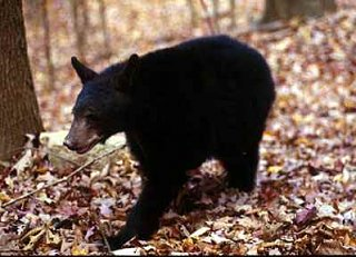 Click image for larger version  Name:Black_Bear.jpg Views:50 Size:15.3 KB ID:4267