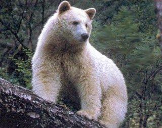 a_spirit_bear.JPG