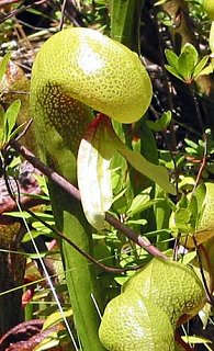 Click image for larger version  Name:5_The_Darlingtonia_Trail_4__Custom_.JPG Views:54 Size:46.8 KB ID:4569