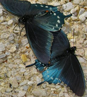 TwoButterflies1212E.jpg