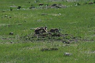 baby prairie dogs.jpg
