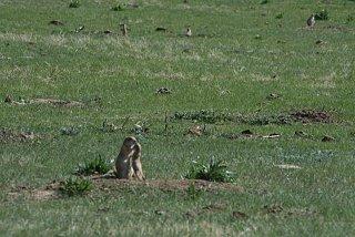 baby prairie dog.jpg