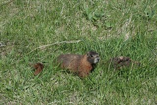 marmot 2.jpg