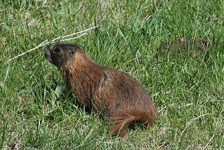 Marmot 4.jpg
