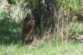 Marmot 5.jpg