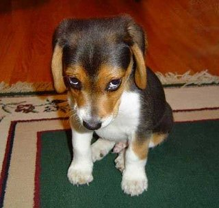Click image for larger version  Name:Beagle.jpg Views:218 Size:19.0 KB ID:5245
