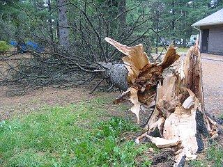 algonquin tree 2 IMG_4900.jpg