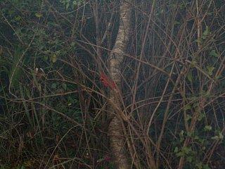 red cardinal in tree.jpg