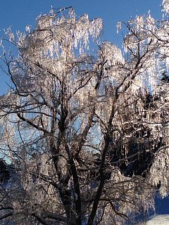icy tree today.jpg