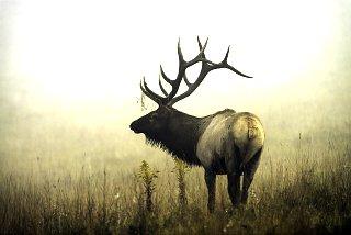 20130929 bull elk in fog.jpg