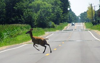 hp.deer.in.road.1.jpg