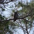 Great Horned Owl at St. George Island State Park, FL